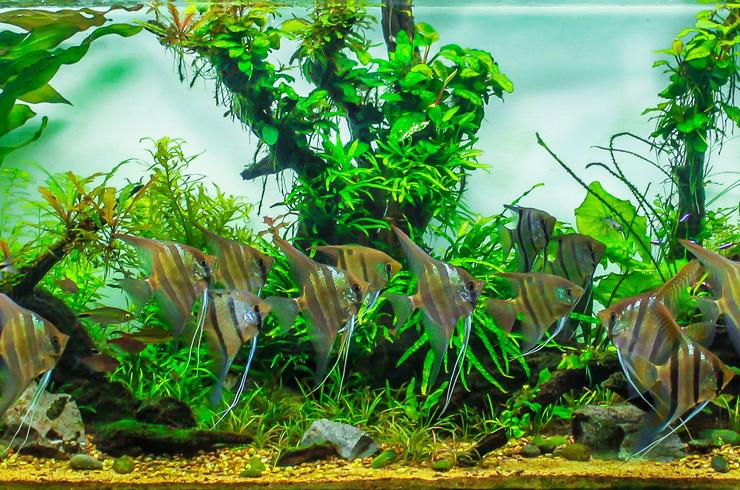 Скалярии отлично чувствуют себя среди живых растений