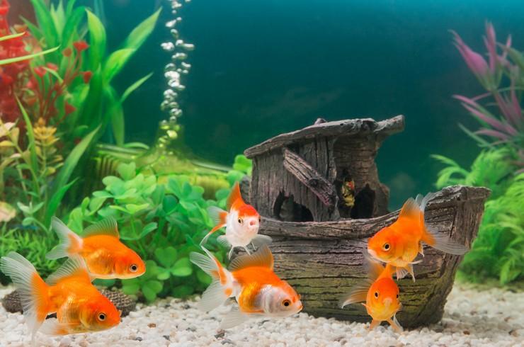 В аквариуме с золотыми рыбками чаще всего используют искусственные декорации