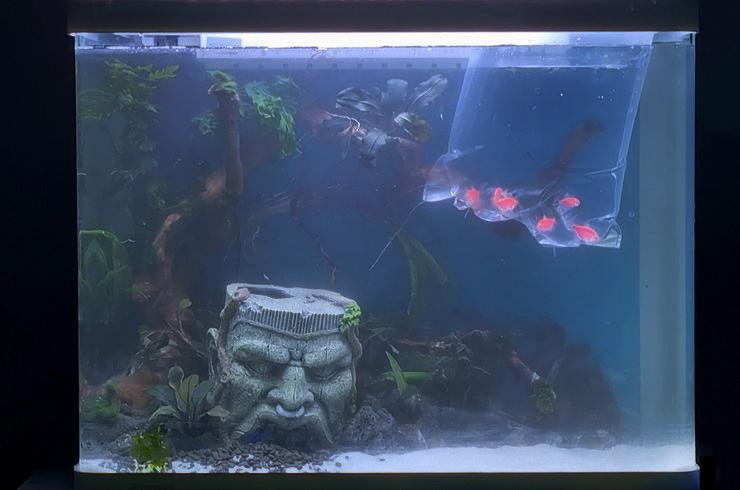 Жителями аквариума станут тернеции глофиш