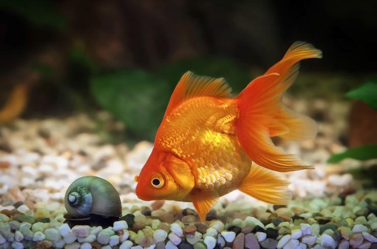 Золотые рыбки любят перекапывать грунт