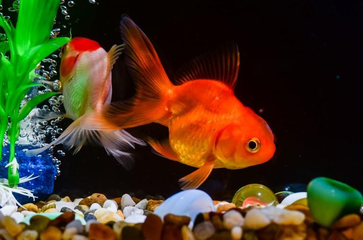 Золотым рыбкам требуется мощная фильтрация и аэрация
