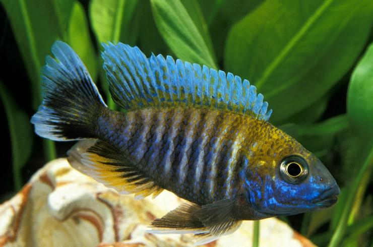 Аулонокара Ньяса в аквариуме
