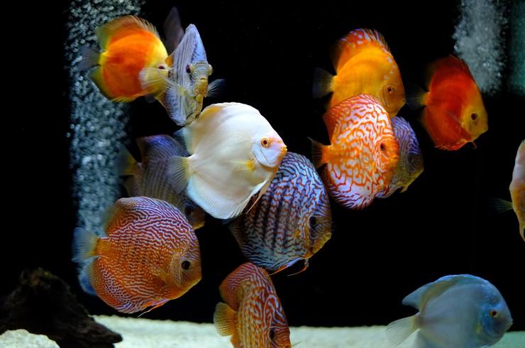 Белые дискусы – рыбки, чувствительные к качеству воды в аквариуме