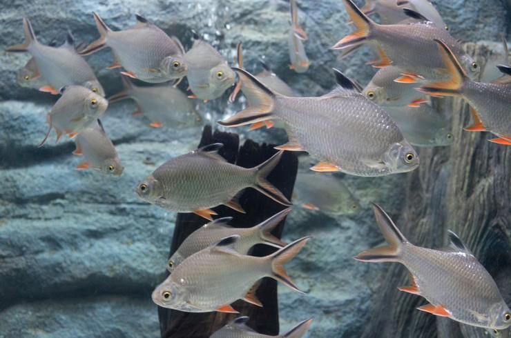 Лещевидных барбусов чаще всего можно встретить в публичных аквариумах