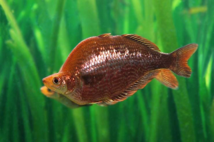 Самца глоссолеписа можно узнать по высокой линии спины и характерной красной окраске