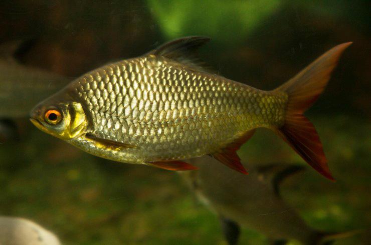 Столь крупной рыбке потребуется корм соответствующего размера