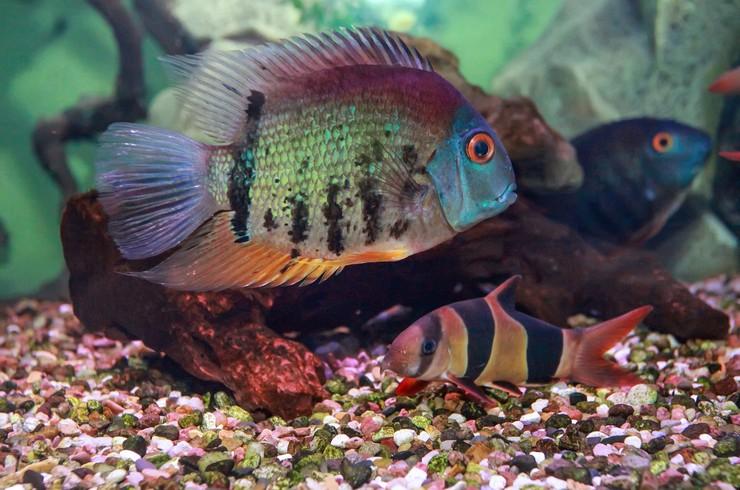 Красноплечий северум в общем аквариуме