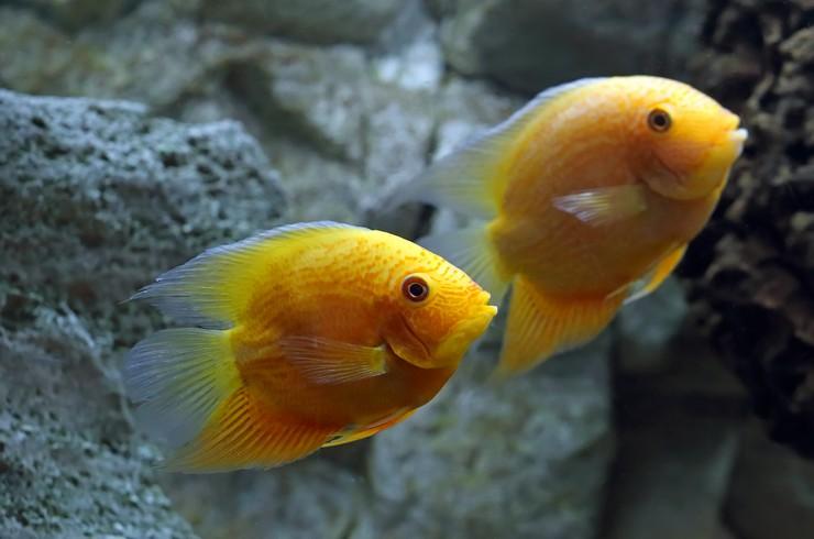 Красноточечные северумы – легко размножаются и проявляют сильные родительские инстинкты