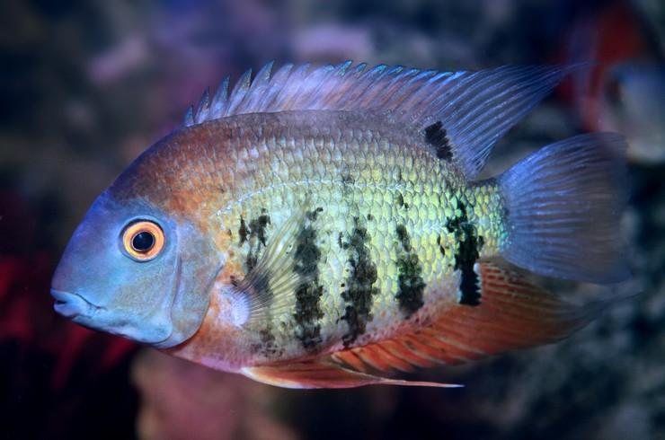 На пару красноплечих северумов понадобится аквариум порядка 200 литров