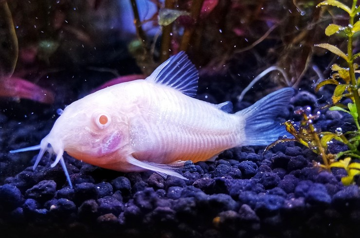 Альбиносы – это рыбки, лишенные пигментов