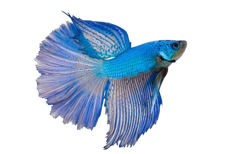 Голубые петушки легко размножаются в домашних условиях
