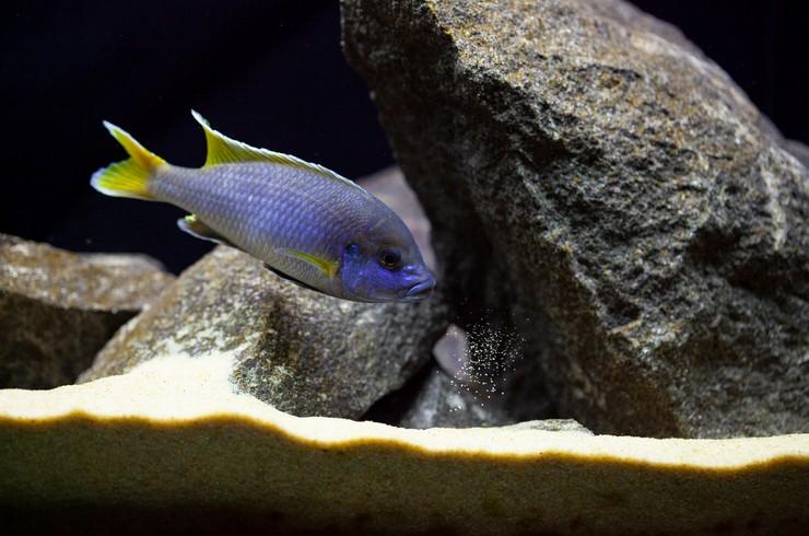 Камни лучше всего подходят оформления аквариума с псевдотрофеусами ацей