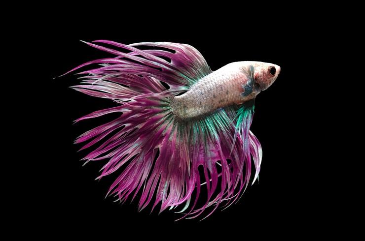 Коронохвостые петушки легко размножаются в домашних аквариумах