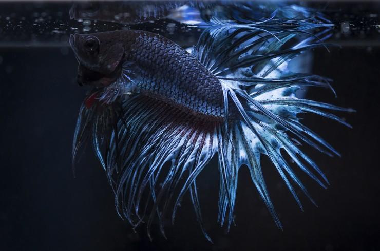 Коронохвостые петушки способны использовать для дыхания атмосферный воздух