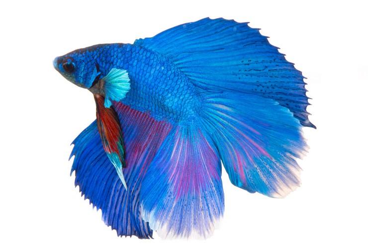 Петушок голубой. Внешний вид