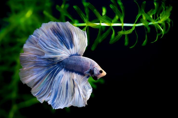 Петушок голубой