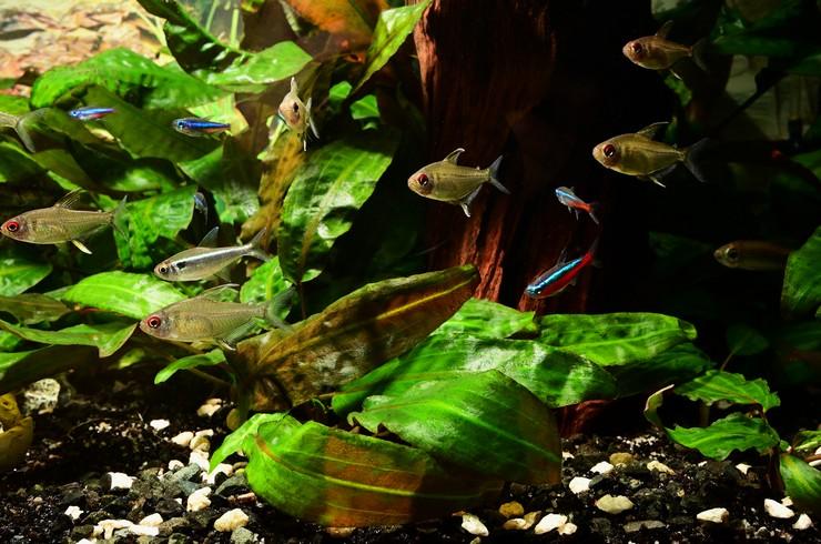Тетра лимонная – миролюбивая рыбка и отличный сосед