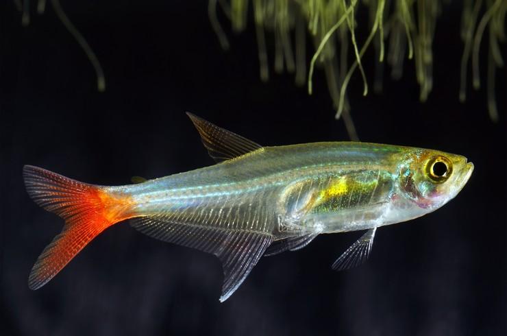 Тетра стеклянная – необычная аквариумная рыбка