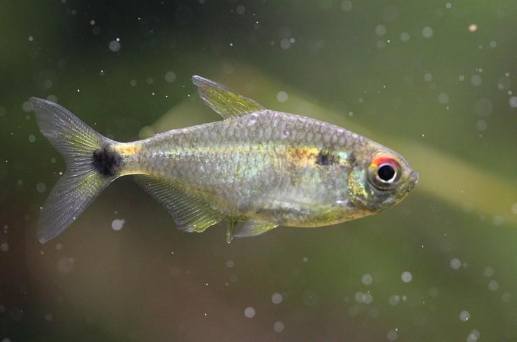 Тетры-фонарик станут отличным выбором для начинающих аквариумистов