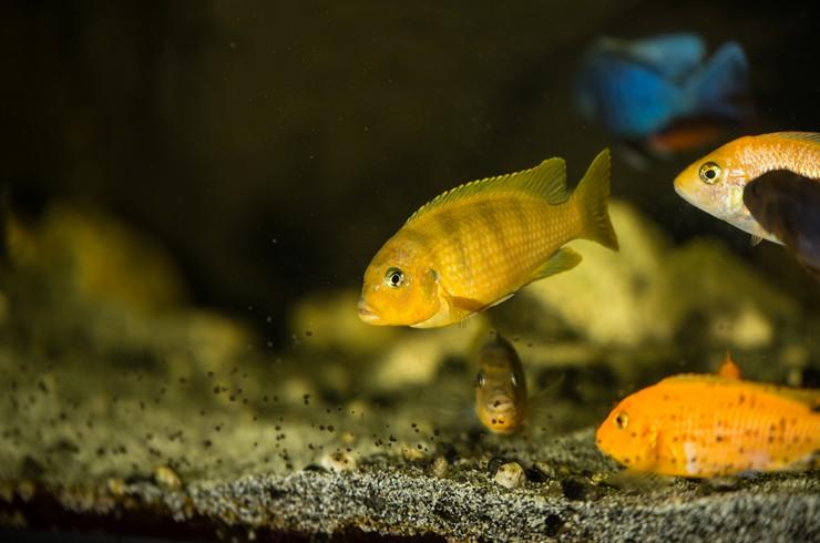 Взрослые самки псевдотрофеуса ломбардо отличаются по цвету от самцов